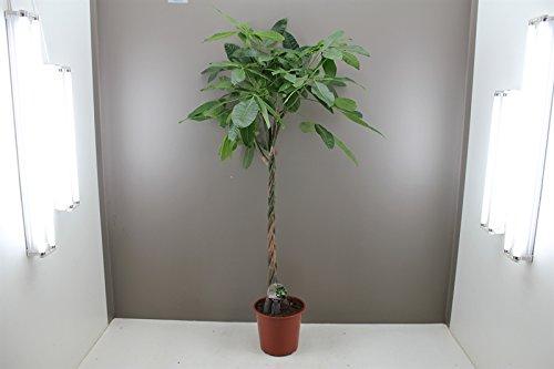 easy-care-large-plaited-money-tree-pachira-aquatica-elegant-decorative-indoor-tree-virtually-kill-pr