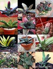 Farbe Gasteria Mix @@ Rare lebendigen Steine Exotische Kaktus Sukkulenten Samen 100 Samen
