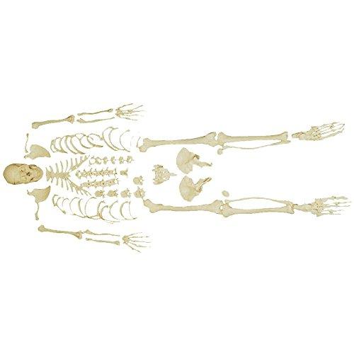 66fit Disarticulated Human – Skeletons & Anatomical Models