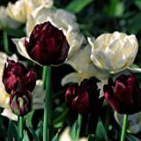 "Black & White Tulip Collection - 20 x "" Queen of the Night"
