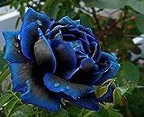 Midnight Rose Höchster Samen Seltene Farbe Blau mit Schwarz-Rosen-Samen Ideal DIY Blumengarten 120 PCS
