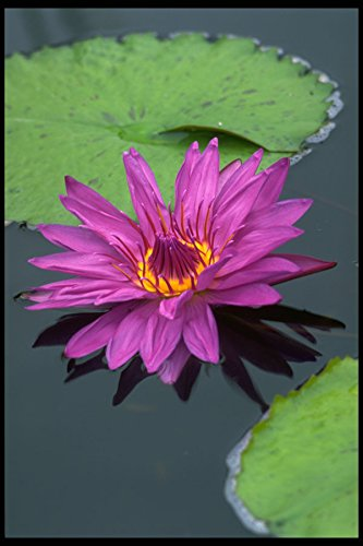 740002-water-lily-in-full-bloom-a4-photo-poster-print-10x8