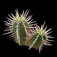 Euphorbia ferox seeds