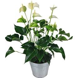 "Anthurie""weiß"" mit Topf - Flamingoblume - Büropflanze"