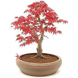 Japanischer roter Ahorn/Fächerahorn / ca. 50 Samen/Acer palmatum atropurpureum/Bonsai