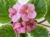 Portal Cool Paquete de se as: 2 s Frescas Cortadas de la Violeta a juguetones Besos