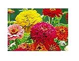 30x Zinnie Dahlien flowered Mix-Samen Rose garten Pflanze Saatgut KS337
