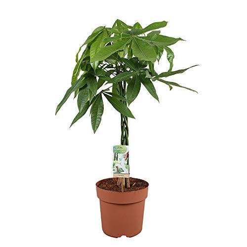 Rasierpinselbaum Stamm geflochten 75-85 cm Topf-Ø ca. 21 cm Pachira aquatica