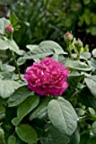 Strauchrose 'Rose de Resht' A-Qualität Wurzelware