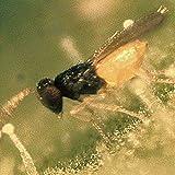 Schlupfwespen gegen die Weiße Fliege - Bis 30 m2 Garten