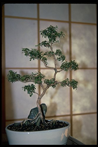353082 Serissa Foetida (variegata Regular Bonsai) A4 Photo Poster Print 10x8