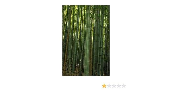 Riesen Bambus Bis 1 Meter Wachstum Pro Tag Phyllostachys Moso