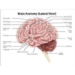 Cuadro sobre lienzo 160 x 120 cm: Human brain anatomy, lateral view.