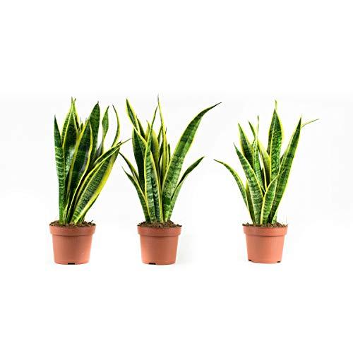 BOTANICLY | Plantas naturales | Sansevieria