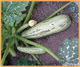 Bobby-Seeds Zucchinisamen Caserta Zucchini Portion