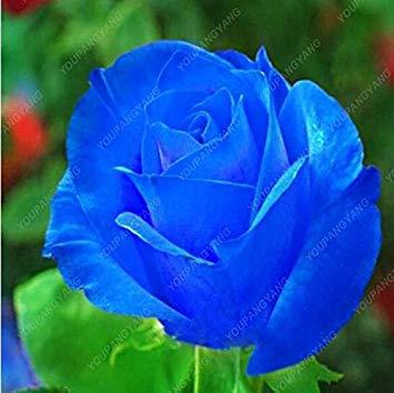 100pcs 20 sortes de graines Rose So Black Rose Charme Bonsai Graines de fleurs vivaces rares fleurs des plantes pour jardin Plum
