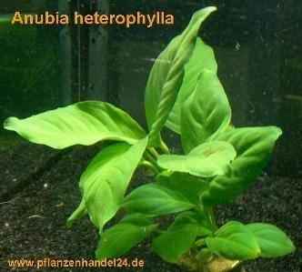 1 Topf Anubia Heterophylla, große Anubia von 199 - Du und dein Garten