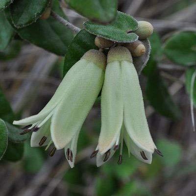 pinkdose 100 pz mini bonsai fucsia appeso fiori fucsia importante autunno begonia perenne pianta da interno giardino in vaso facile da coltivare: 19
