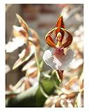 25x Ballerina Spinne Orchidee Samen Pflanze Blume Zimmerpflanze #95
