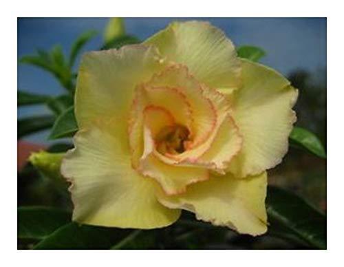 Adenium obesum Maithong - Rose du désert - Faux baobab - 3 graines