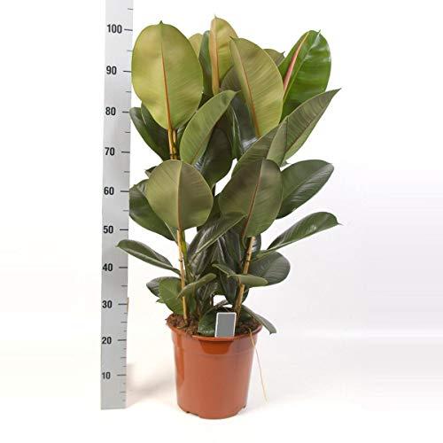 Gummibaum 120 cm Ficus elastica Robusta Zimmerpflanze