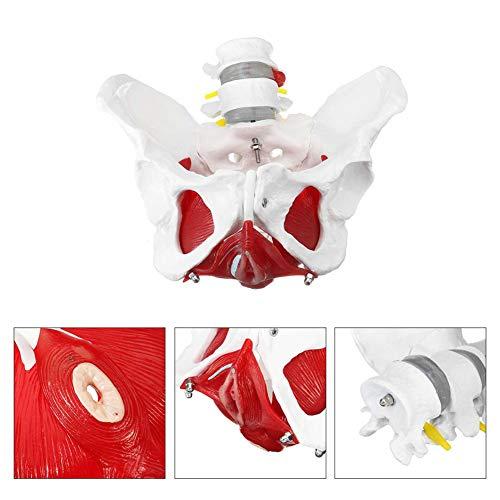 XIEJI Natürlichen Lebens Größe Medizinischen Anatomischen Weibliche Becken Modell Mit Abnehmbare Organe Schule Pädagogische Lehr Lernen Modell Werkzeug