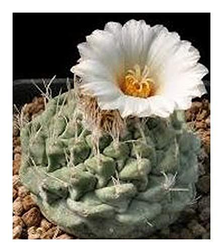 Strombocactus disciformis - cactus - 10 graines