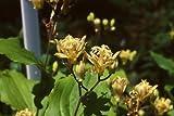 5 Samen von Tricyrtis puberula Japanische Krötenlilie