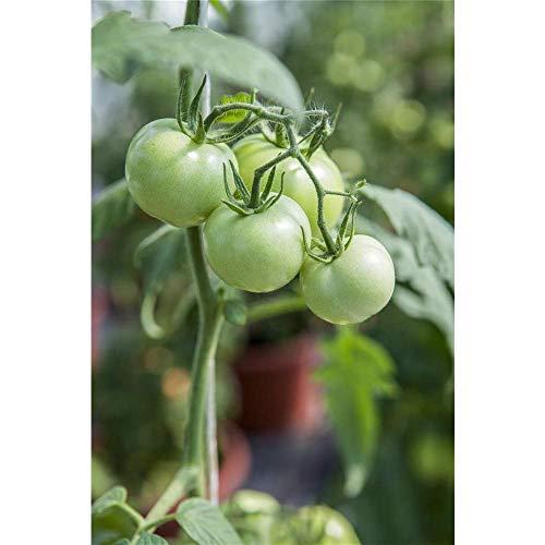 Freilandtomate Phantasia, Solanum lycopersicum, Pflanze im 11 cm Topf in Gärtnerqualität