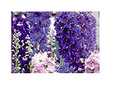 30x Rittersporn Round Table Series mix (Delphinium)- Samen Garten KS341