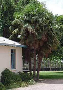 FERRY Keim Seeds: Washingtonia Filifera Fan Palm 10 Samen