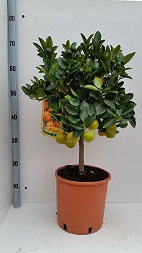 topiary-mini-orange-citrus-tree-in-a-21cm-pot-70cm-tall