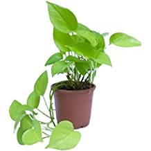 Root Bridges Indoor Golden Money Plant (Pot included)
