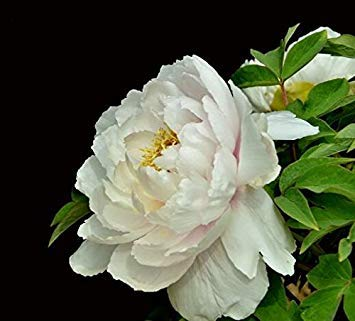 10pcs / sac de graines de pivoine, jaune, graines de fleurs de pivoine rose chinoise belles graines de bonsaï plantes en pot pour le jardin de la maison 13