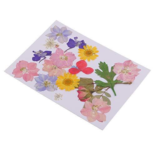 IPOTCH Mehrfache Natürliche Gepresste Getrocknete Blumenpresse Verlässt DIY Kunsthandwerk 8-30mm Mischung -