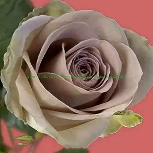 Bloom Green Co. bonsaïs 150 pcs/paquet Rainbow Rose Holland Flower amant cadeau RARE 25 exotiques couleurs au choix jardin d'accueil: 24