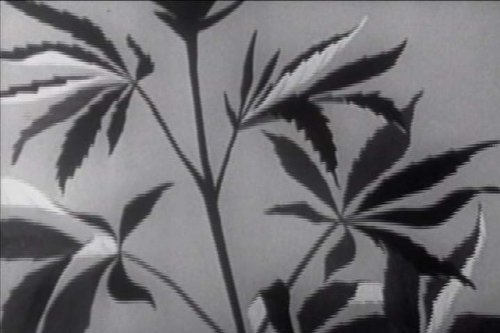 classic-marijuana-propaganda-films-dvd-1950s-1970s-drug-narcotics-marijuana-as-a-gateway-drug-propag