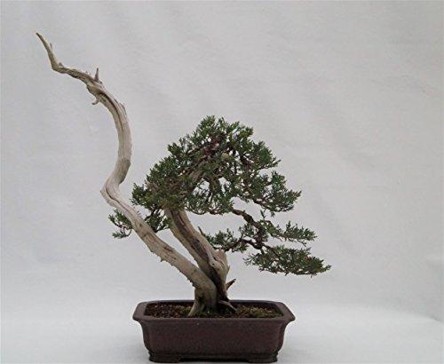 Superbe bonsaï liquide brun rougeâtre 25 cm