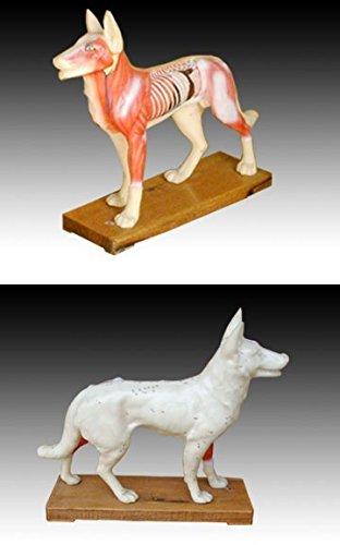 Akupunktur und Muskelmodell Hund (Halloween Skelett Hund)