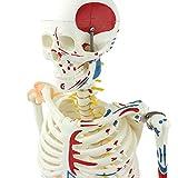 AKAKK.Human Mensch Skelett Muskel Modell mit Bändern Rücken Biegbar Skelett Struktur Modell Medizinisch Biologie Anatomie Lehre Requisiten (85 cm / 31 Zoll)