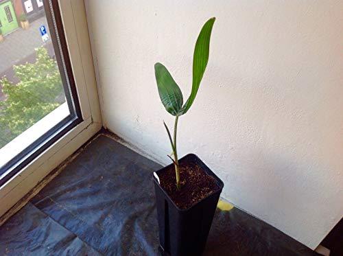 Portal Cool Palm: 1X Wodyetia bifurcata -Foxtail Palm -Nr Cycas Cycad -Nr Seeds