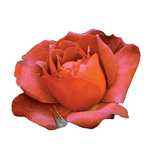 Hot Cocoa, rosaio vivo Rose Barni, rosa in vaso rossa, arancia e cioccolato, pianta eretta e vigorosa, ideale in bordure, aiuole o vasi sul terrazzo, abbondante rifiorenza fino in autunno cod.72049