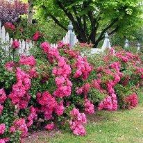 Rose Flower Carpet Pink (3Litre Pot)