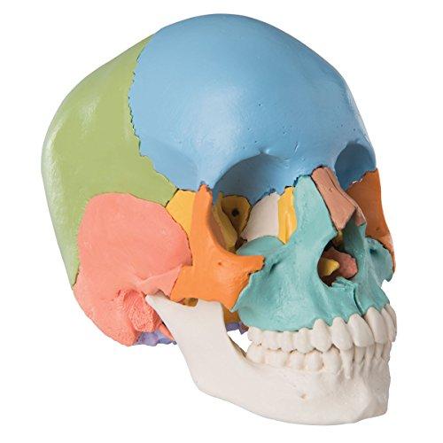Zoom IMG-2 3b scientific a291 cranio scomponibile