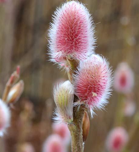 Rote Japanische Kätzchenweide Mount Aso 40-60cm - Salix gracilistyla