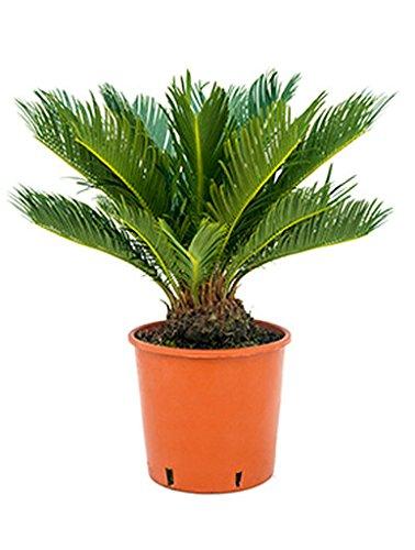 Palmfarn 50-60 cm im 20 cm Topf robuste Zimmerpflanze sonniger Standort Cycas revoluta 1 Pflanze