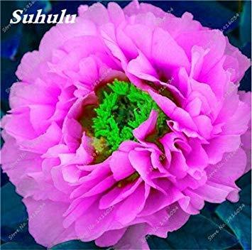 100 pièces / sac Couleur Rare Rose Graines Outdoor Bonsai Graines de fleurs vivaces Fleurs Graines Plante en pot pour jardin Décor 20