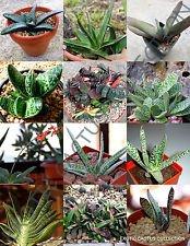 Rare Gasteria Mix lebendigen Steine Pflanze Exotische Kaktus-Blume Succulents -10 Seeds