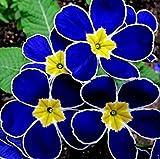 GEOPONICS Promozione 100 Sera Primula Blau Nachtkerze, duftend Fai da Te Hausgarten Uova Pflanze, Nur samen