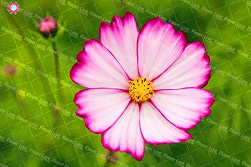 Pinkdose Kosmos Blume Pflanze Bonsai Topfpflanzen Mehrjährige Garten Ornamente Chrysantheme Cosmos Pflanze 100 Teile/Beutel: 6